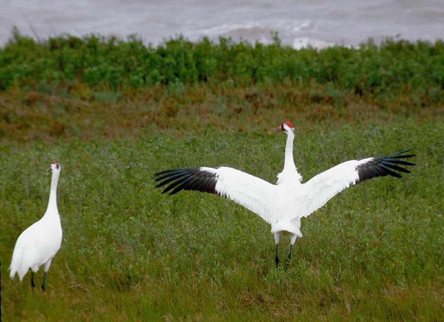 Whooping Crane (Grus americana) photo: TPWD